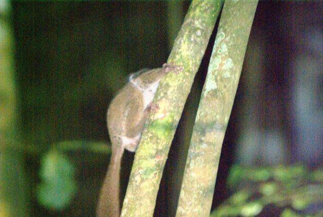 Bush Baby Madagascar
