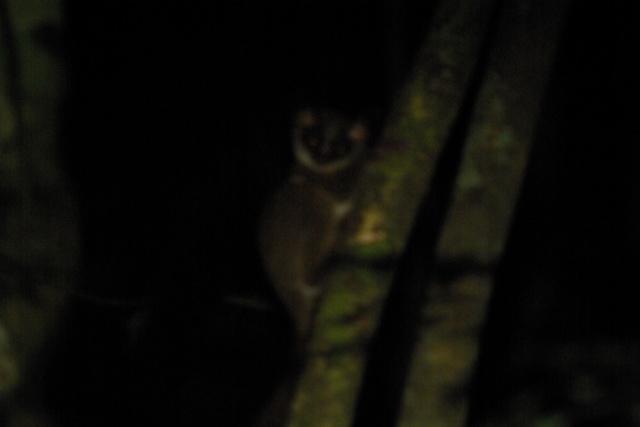 Lemur Cousins